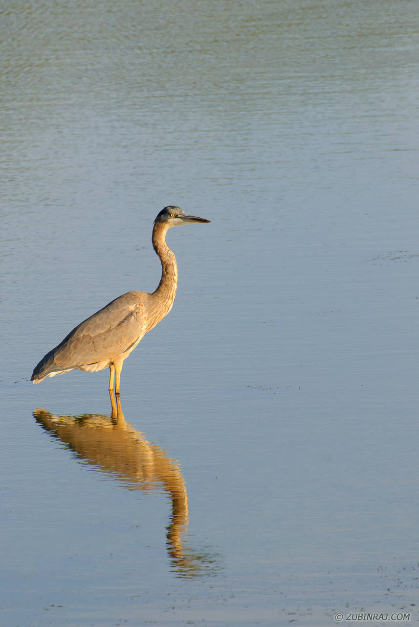 Great-Blue-Heron-Purgatory-Minnesota-DSC_9991-20120915