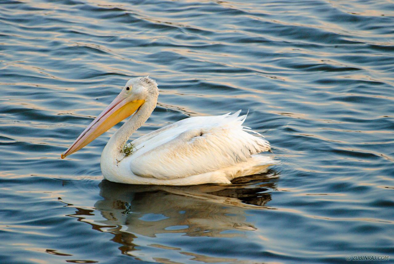 Pelicans-At-Purgatory-Minnesota-DSC_0155-20120915