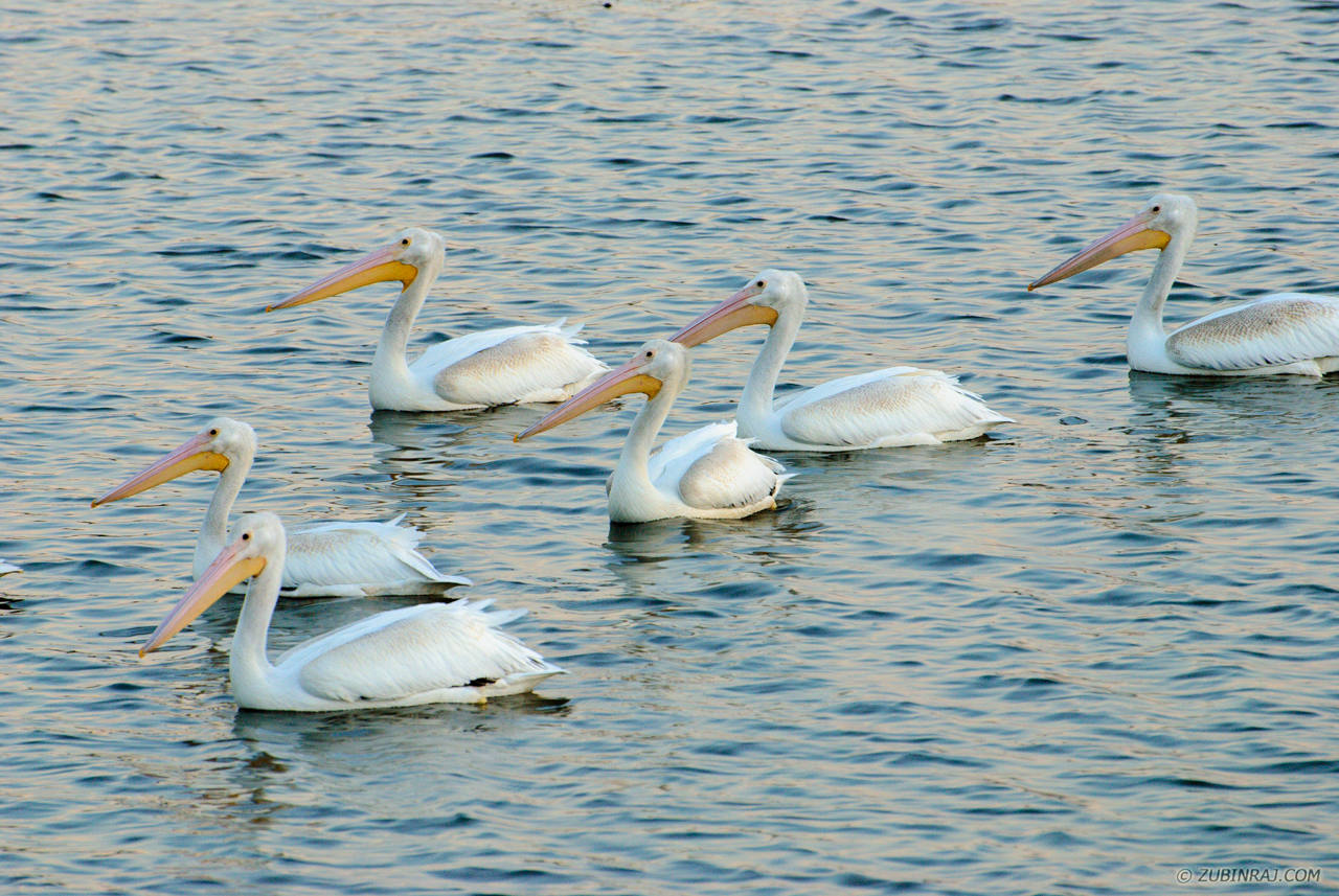 Pelicans-At-Purgatory-Minnesota-DSC_0181-20120915