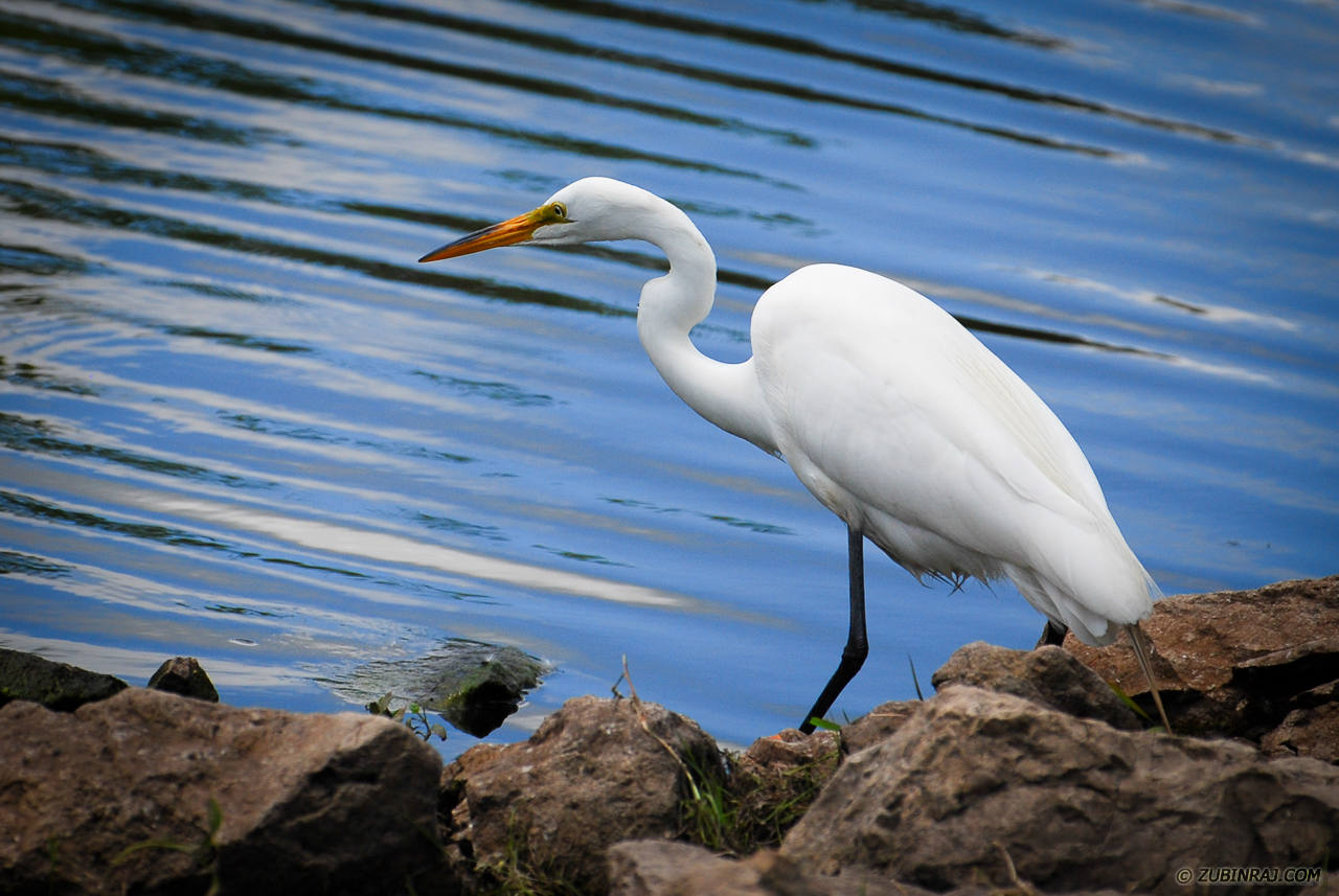 Snowy Egret Waiting To Strike-DSC_7271
