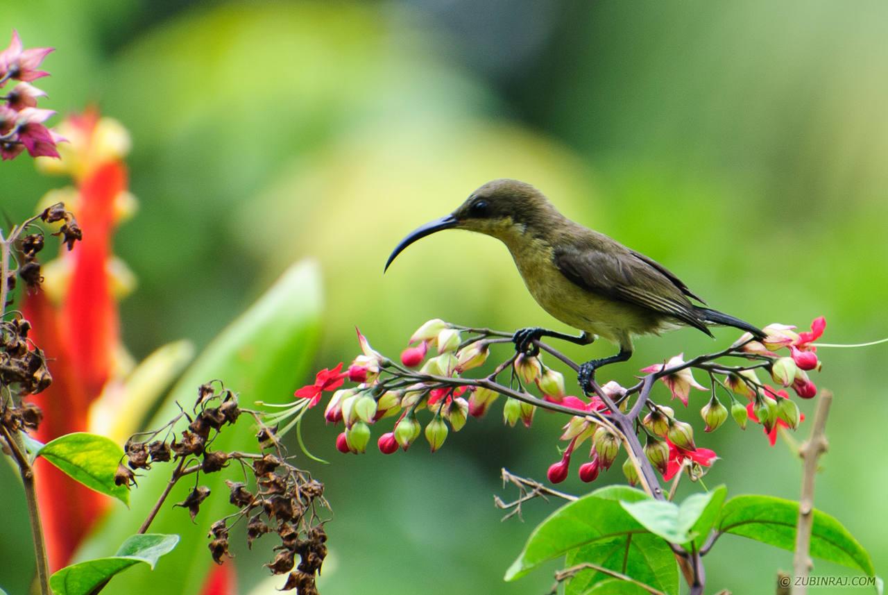 Female Lotens Sunbird-20130306-DSC_2080